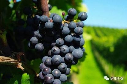 梅洛葡萄酒