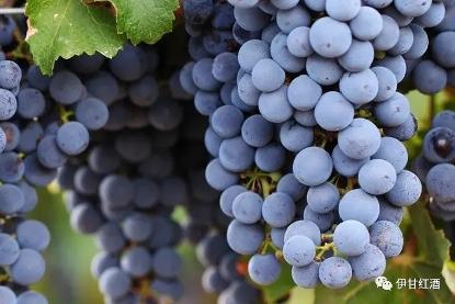 葡萄的品种